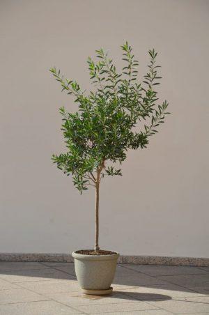 Drzewko oliwne